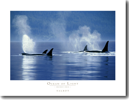 Ocean of Light - Orcinus Orcas